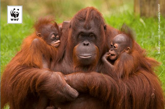 Orangutan with logo