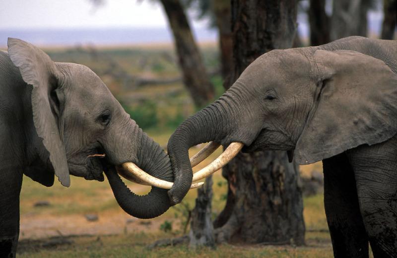 African savanna elephant (Loxodonta africana africana); Kenya