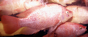 Red Jamaican Hybrid Tilapia