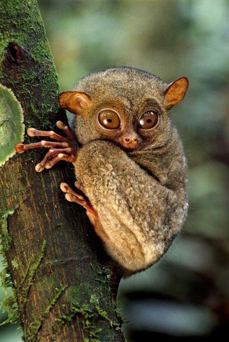 Cute Pet Animals Hd Wallpapers Macaco Tarsius A Criatura Pequena E Fofa Dos Olhos Grandes
