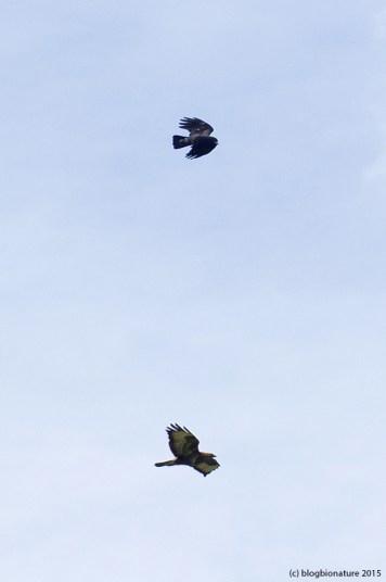 Buse et corbeau