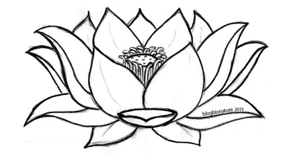 lotus (c)blogbionature
