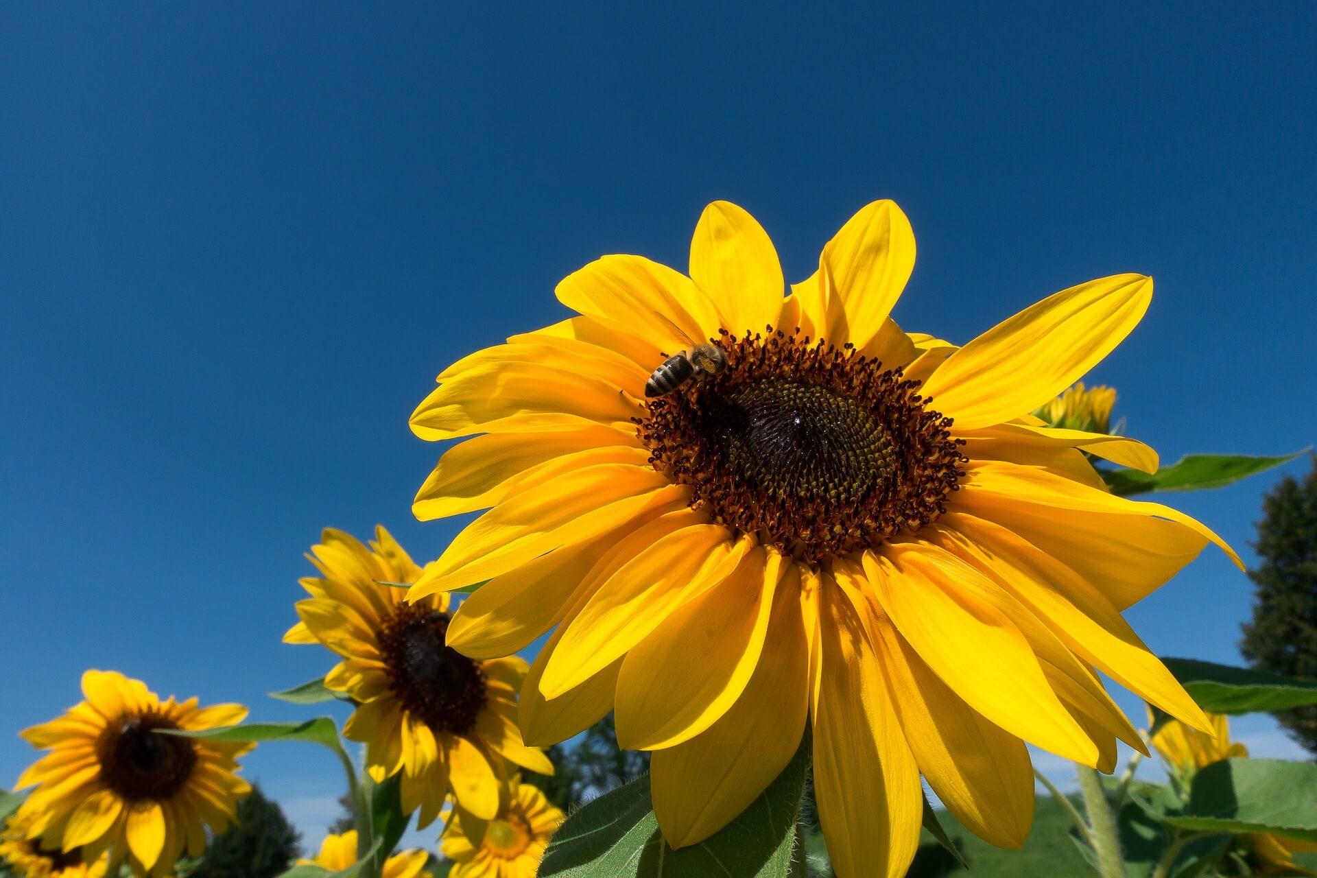 Car Hdr Wallpaper Moving Towards The Light The Secret Of The Sunflower