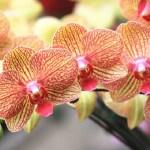 A te orchideád sem virágzik? Erre van szüksége ahhoz, hogy virágozzon!