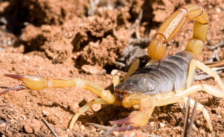 Arizona Scorpion