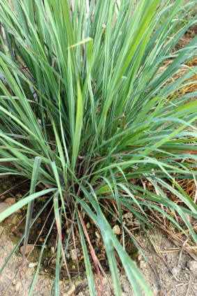 Lemon grass in the garden