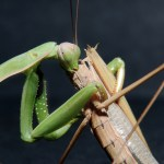 Praying Mantis Cannibal