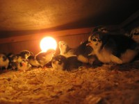 Managing Risk: Using Heat Lamps on the Farm | Cornell ...