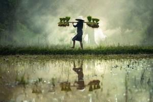funiber-arsenico-arroz