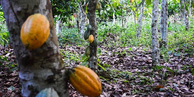 Cocoa plantations in Ghana Photo Credit: jbdodane via Flickr (http://bit.ly/1SiduAR) CC BY-NC 2.0