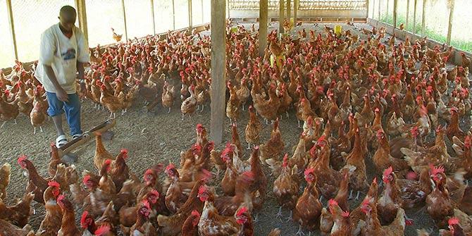 A chicken farm in Nigeria