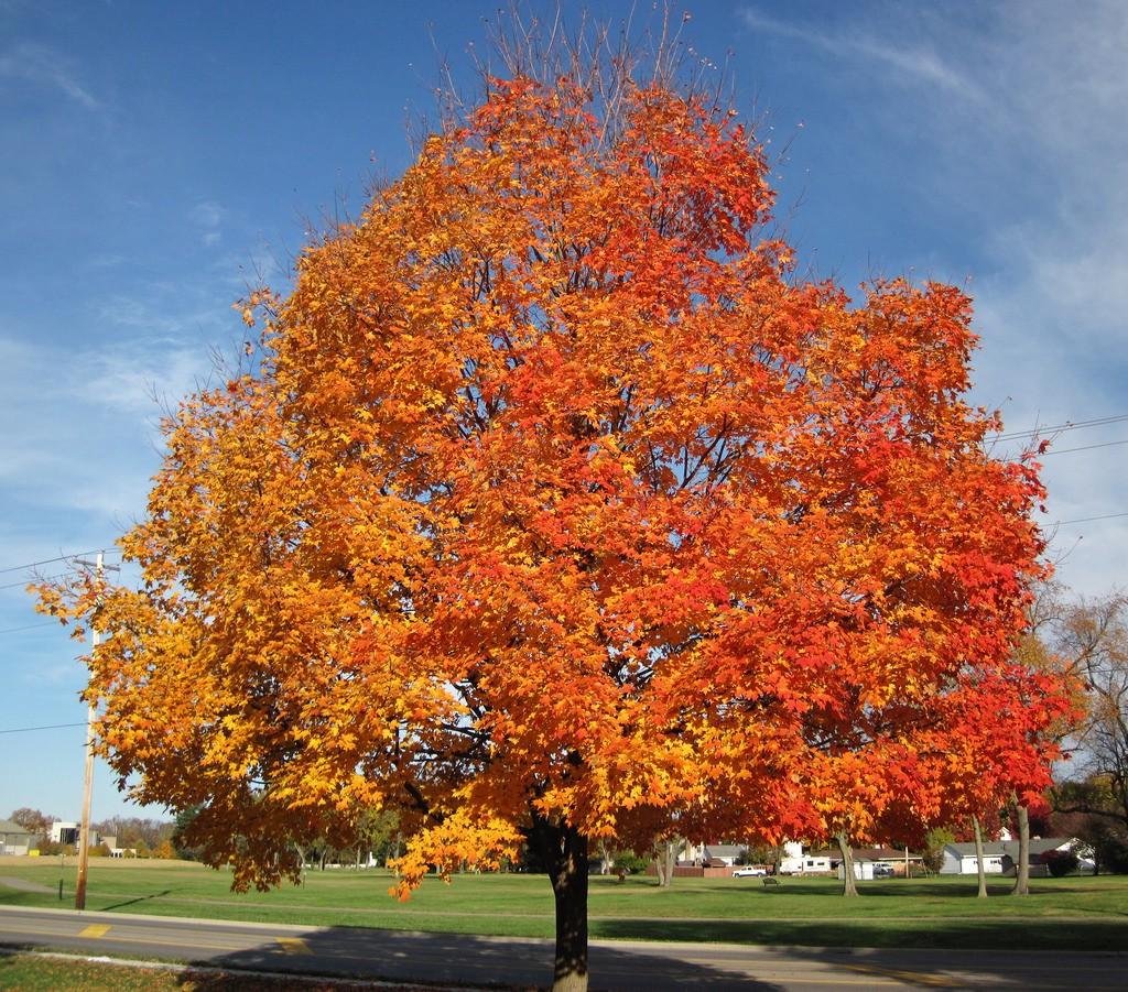 Birch Tree Fall Wallpaper Sugar Maples In Peril 171 All In