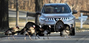 Why did the turkeys cross the road?