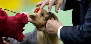 Dogs on parade at the 137th Westminster Kennel Club show