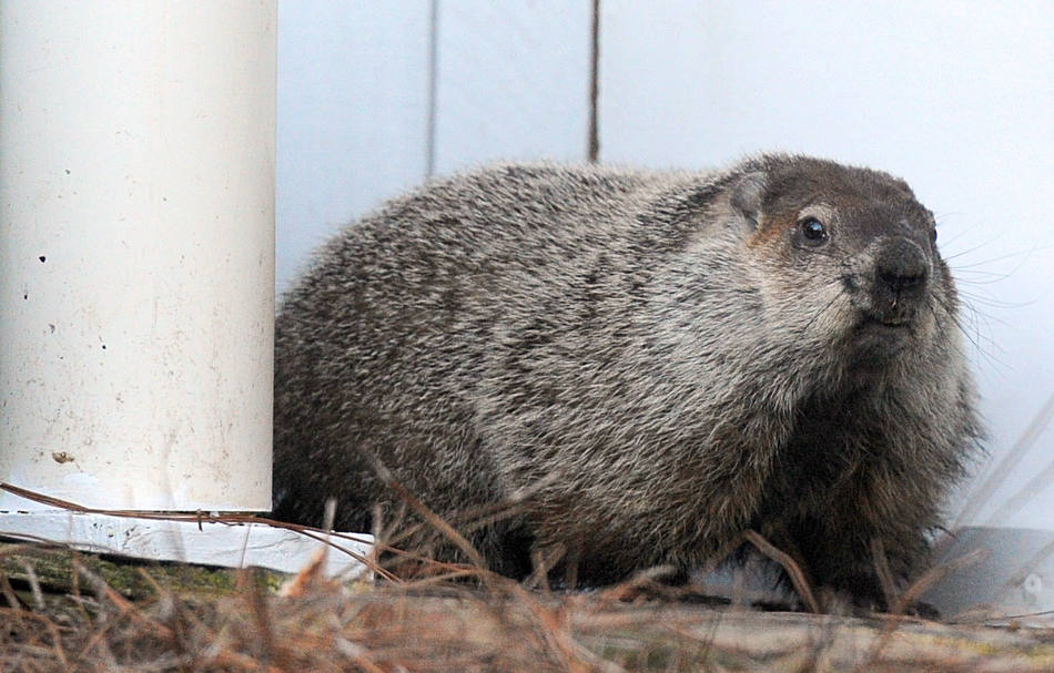 Gen. Beauregard Lee the groundhog shows himself at sunrise on Groundhog Day at the Yellow River Game Ranch in Lilburn, Ga. on Saturday, Feb. 2, 2013. His shadow was seen and according to this folklore tradition the annual weather prediction is six more weeks of winter. (AP Photo/Gwinnett Daily Post, Brendan Sullivan)