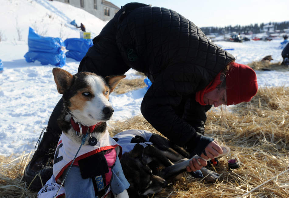 Aliy Zirkle puts booties on her dogs before leaving White Mountain in Alaska, Tuesday, March 12, 2013, during the Iditarod Trail Sled Dog Race. (AP Photo/The Anchorage Daily News, Bill Roth)  LOCAL TV OUT (KTUU-TV, KTVA-TV) LOCAL PRINT OUT (THE ANCHORAGE PRESS, THE ALASKA DISPATCH)