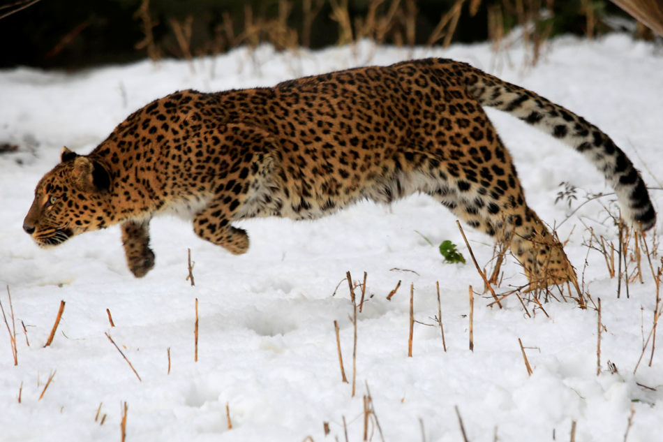A female leopard moves inside a snow covered enclosure at Dachigam Wildlife Sanctuary, outskirts of Srinagar, India, Thursday, Jan. 23, 2014. Wildlife authorities in Indian Kashmir are making special efforts to provide food to the endangered stags known as 'hangul,' as they face difficulty in finding vegetation following heavy snowfall, wildlife officials said. (AP Photo/Dar Yasin)