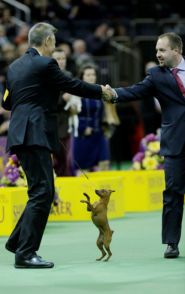 Classie, a miniature pinscher, reacts after winning the Toy group during the 138th Westminster Kennel Club dog show, Monday, Feb. 10, 2014, in New York. (AP Photo/Frank Franklin II)