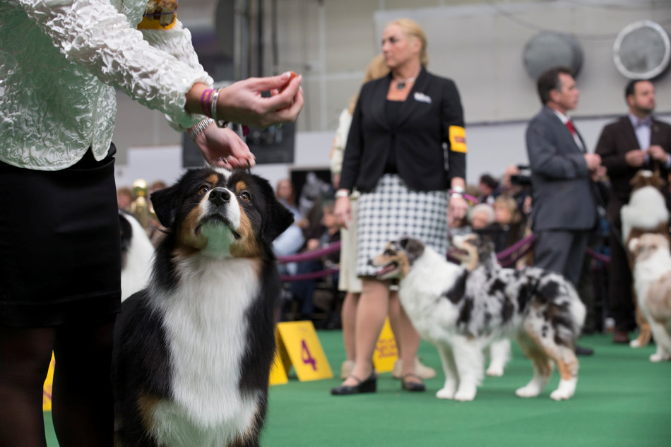 An Australian Shepherd eyes a treat before presenting during the Westminster Kennel Club dog show, Monday, Feb. 10, 2014, in New York. (AP Photo/John Minchillo)