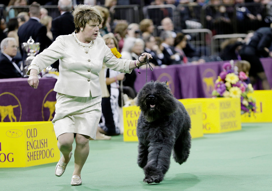 A Bouvier des Flandres competes with other dogs in the Herding group during the 138th Westminster Kennel Club dog show Monday, Feb. 10, 2014, in New York. Coco, a cardigan welsh corgi, won the group. (AP Photo/Frank Franklin II)