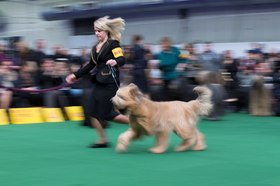 A Briard dog and it's handler present during the Westminster Kennel Club dog show, Monday, Feb. 10, 2014, in New York. (AP Photo/John Minchillo)