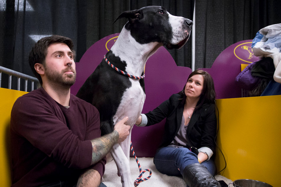 Fender, a great dane, sits up beside his handlers, Chris Wood, left, and Kim Wood, right, in the benching area before the Westminster Kennel Club dog show, Tuesday, Feb. 11, 2014, in New York. (AP Photo/John Minchillo)