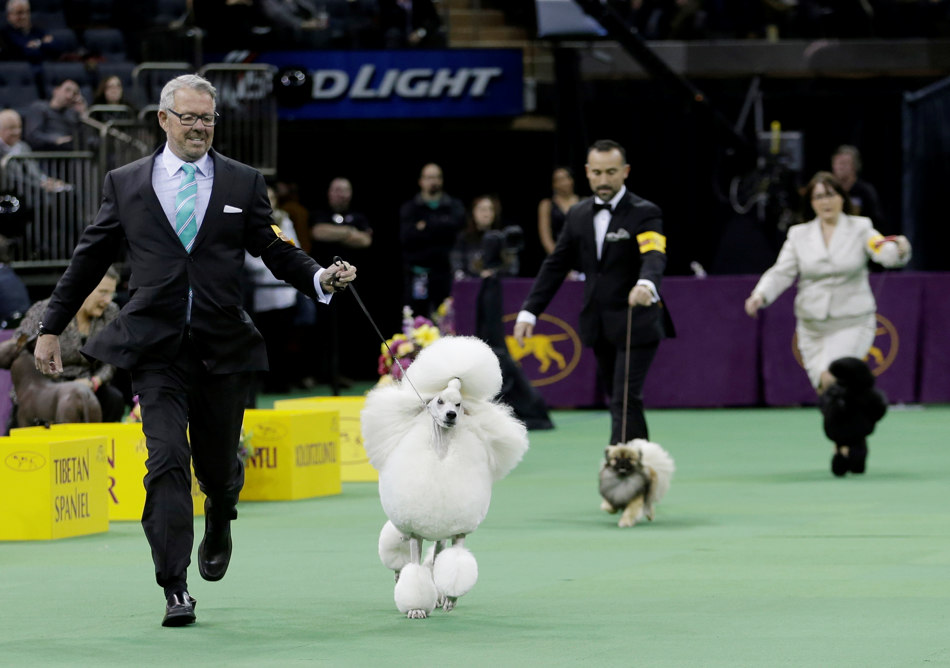 Allie, a poodle, competes with other dogs in the Non-Sporting group during the 138th Westminster Kennel Club dog show, Monday, Feb. 10, 2014, in New York. Allie won the group. (AP Photo/Frank Franklin II)