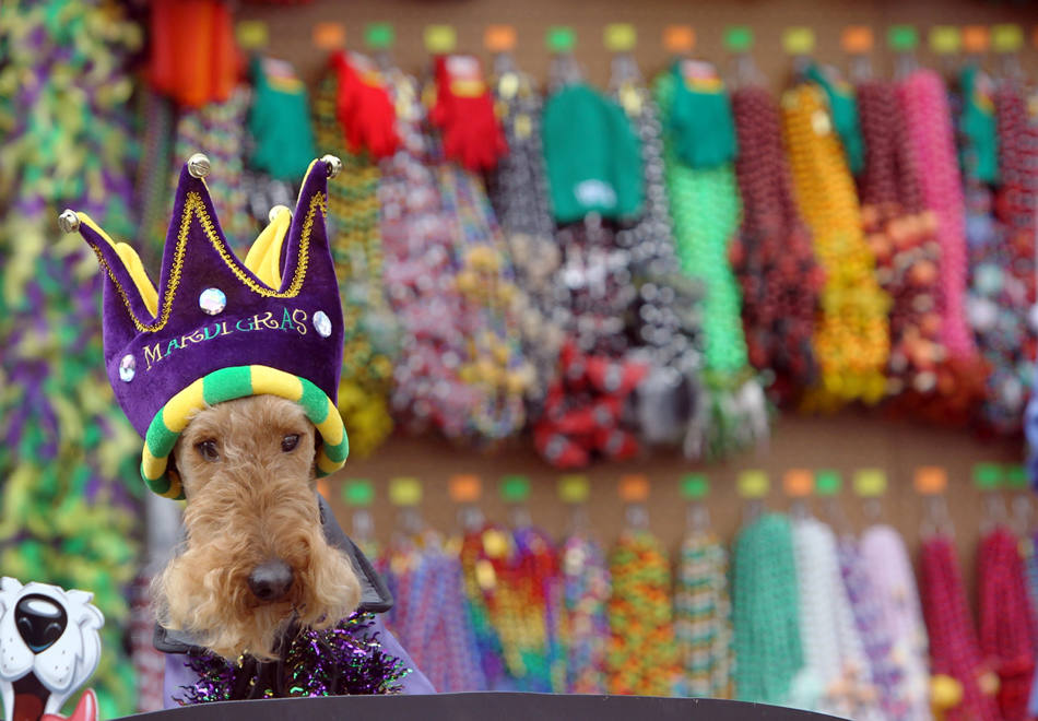 In this Feb. 23, 2014 photo, Magi Z waits for the start of the Beggin' Pet Parade in St. Louis. The pet parade kicks off the annual Mardi Gras celebrations in St. Louis. (AP Photo/St. Louis Post-Dispatch, J.B. Forbes)   Photo by J.B. Forbes,  jforbes@post-dispatch.com