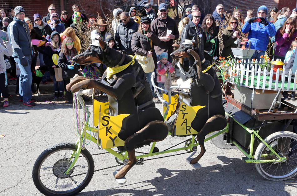 In this Feb. 23, 2014 photo, two doberman pinschers bike at the annual Beggin' Pet Parade in St. Louis. The pet parade kicks off the annual Mardi Gras celebrations in St. Louis. (AP Photo/St. Louis Post-Dispatch, J.B. Forbes)   Photo by J.B. Forbes,  jforbes@post-dispatch.com