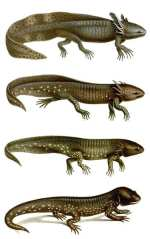 Tiger Salamander Metamorphosis