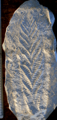 Charnia an ediacara