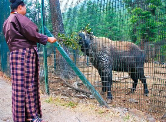 A Takin, the national animal of Bhutan