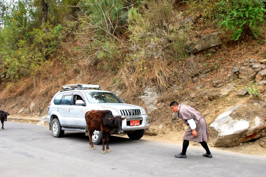 Cows on the road in Bhutan