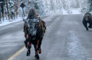 Bear Chasing Bison