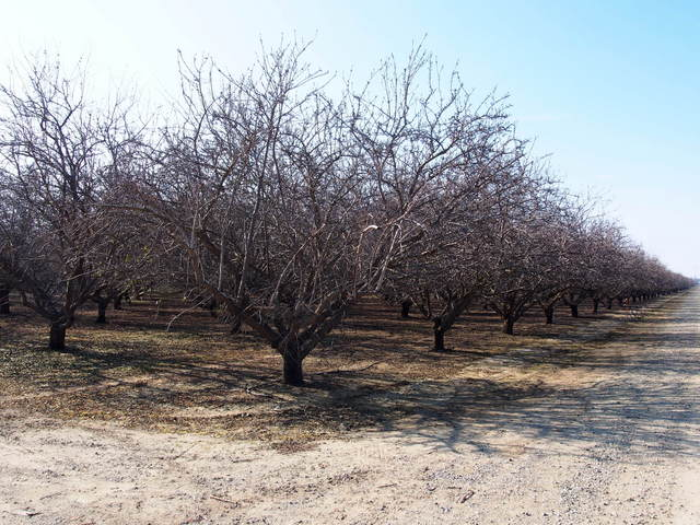 Thousands of acres of almonds trees in the Central Valley.