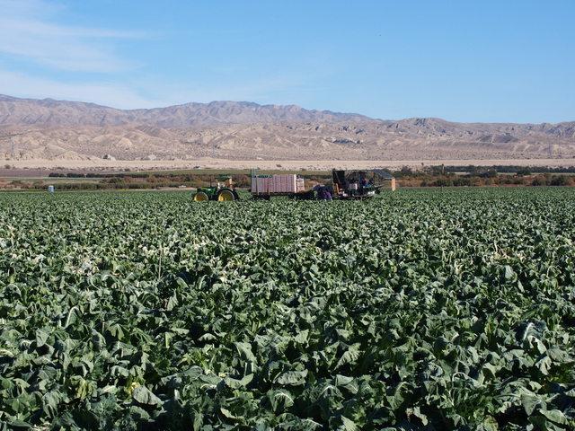 Cauliflower harvest in Imperial Valley.