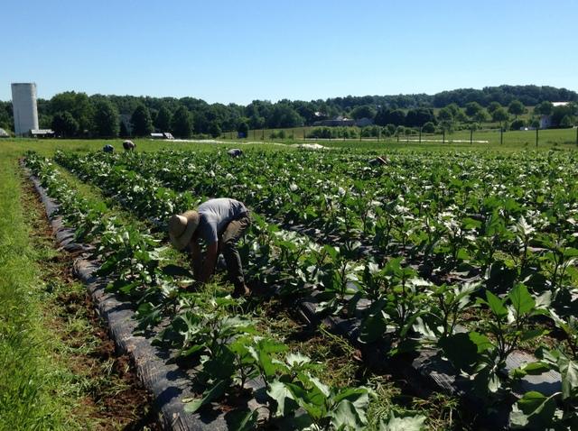 Weeding the eggplant.