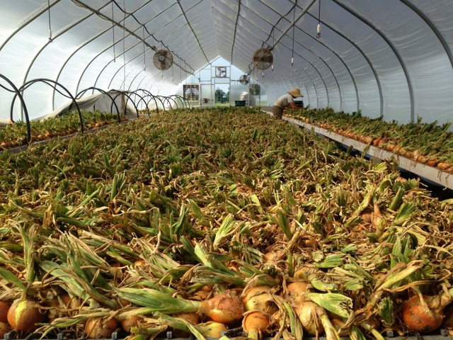 Storage onions harvested and being laid out to dry and cure.