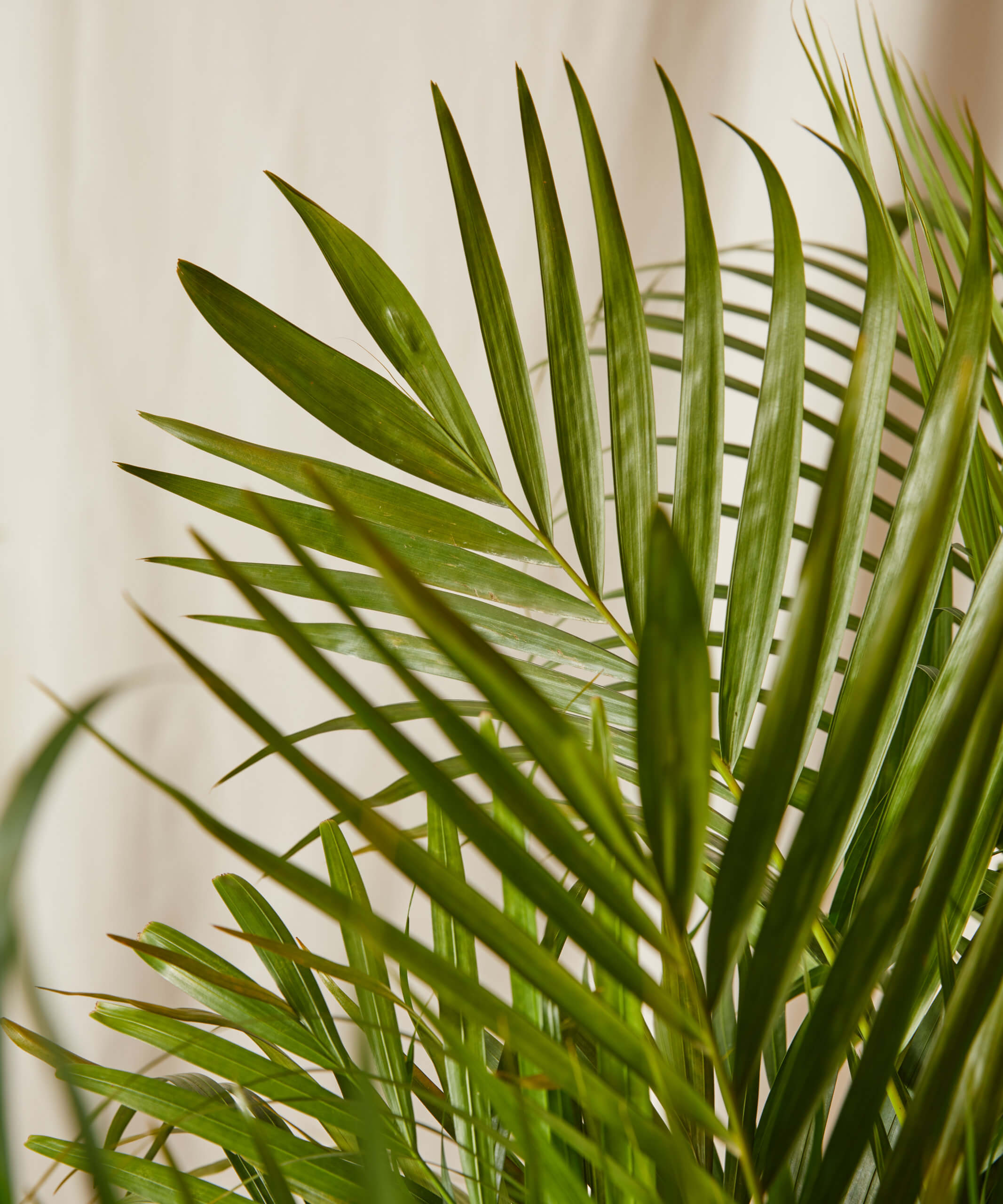 Buy Potted Areca Palm Indoor Plant Bloomscape