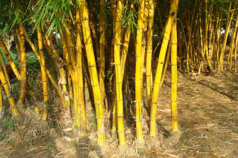Large Of How To Kill Bamboo