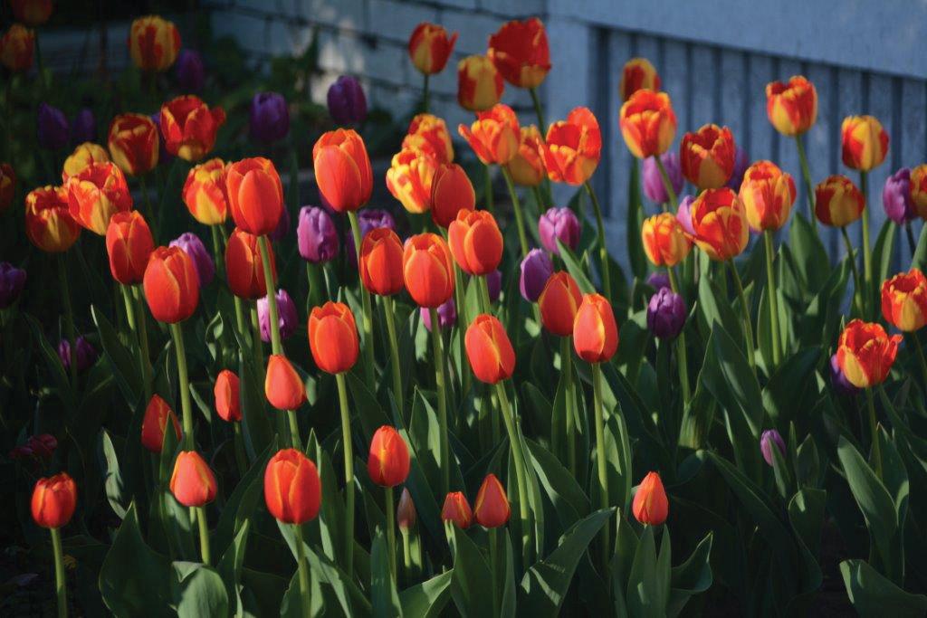 Let\u0027s talk about spring flowering bulbs Outdoors montrosepress