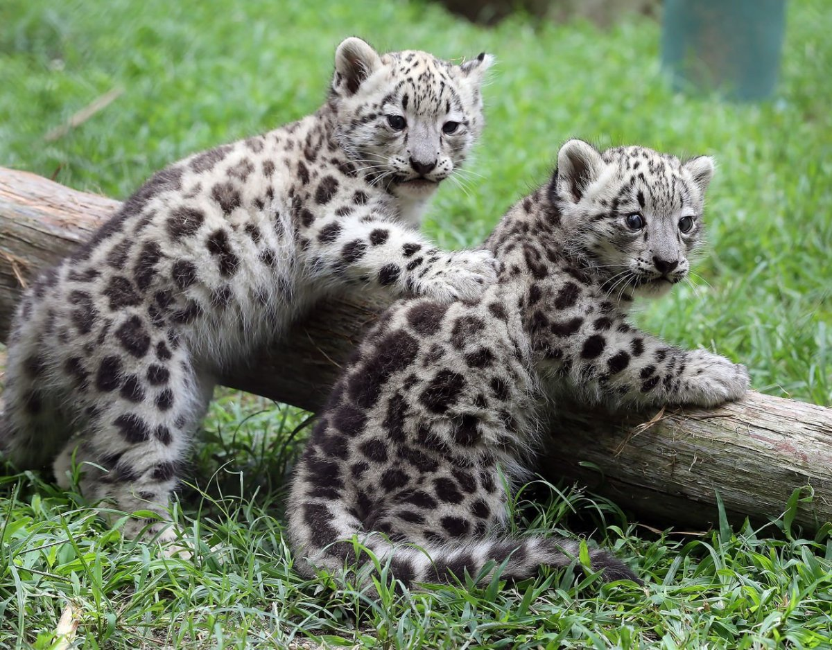 Very Cute Babies Desktop Wallpapers Two Baby Snow Leopards Unveiled At Cape May County Zoo