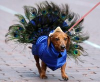 Wiener Dogs In Costumes
