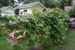 Manly Hyacinth Bean Vine Climbers Add Interest To Landscape Features Hyacinth Bean Vine Edible Hyacinth Bean Vine Zone