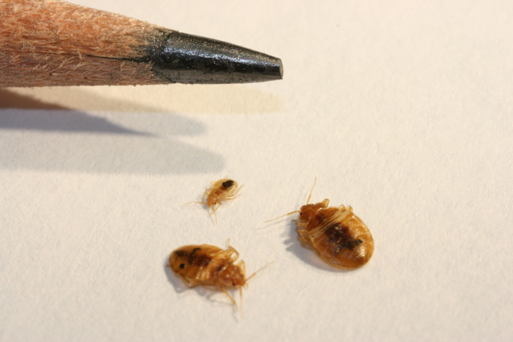 Images Of Bed Bugs Up Close And Personal With Bed Bugs Tucson