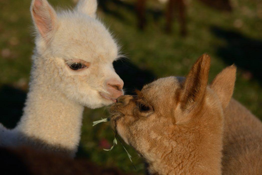 Cute Llama Wallpaper Desktop Alpaca Farm In Mount Joy Opens To Public For 2 Weekends