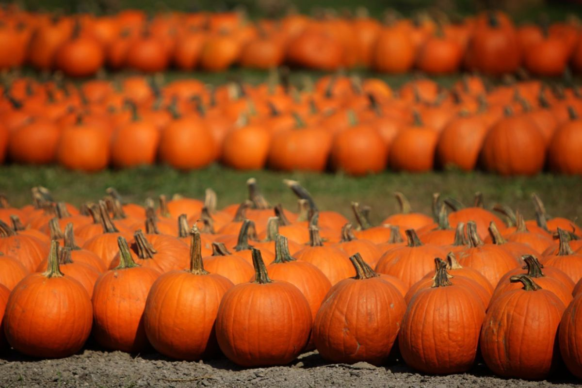 Fall Leaves And Pumpkins Wallpaper New Chesterfield Pumpkin Patch Sprouting Up After Close Of