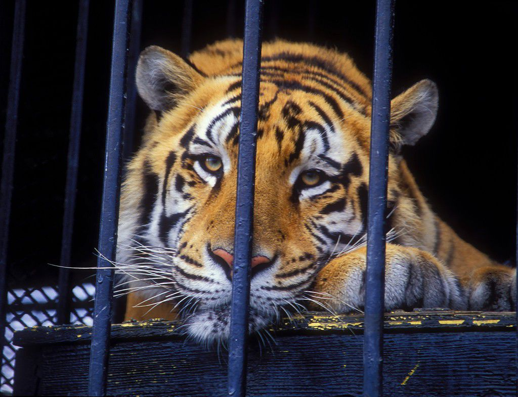 Tiger Größe Tony The Truck Stop Tiger Euthanized After 17 Years As Grosse Tete