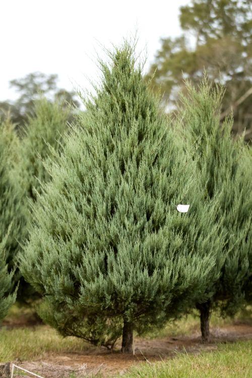 Medium Of Carolina Sapphire Cypress