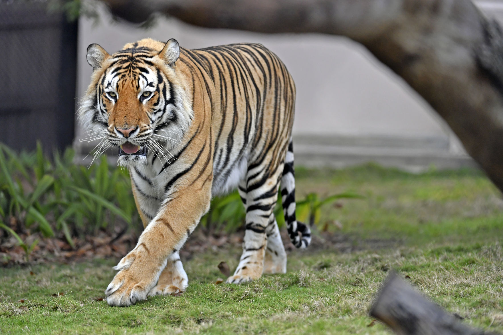 Tiger Sanctuaries Are A Hit On Netflix But Do You Know How Lsu Rescued Mike Vii News Theadvocate Com